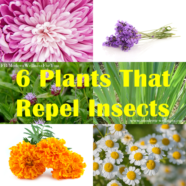 6 plants that repel insects modern wellness. Black Bedroom Furniture Sets. Home Design Ideas